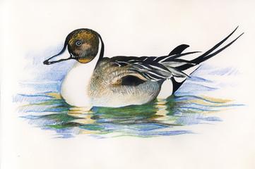Wild duck. picture