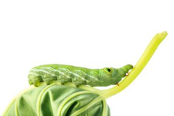 close up on caterpillar worm