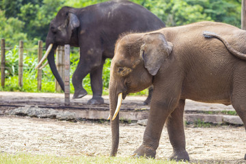 Indian Elephants, Malaisia..