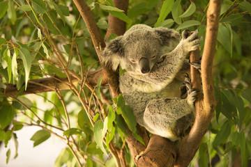 Wall Murals Koala An Australian koala outdoors.