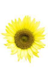 """Pacino Lemon"", Sunflower, white background, cut out"