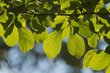 Zwetschgenbaumblätter