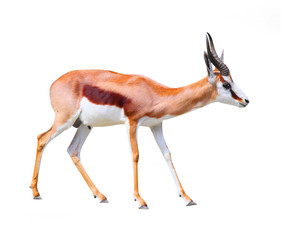 Photo sur Plexiglas Antilope The Springbok Antelope (Antidorcas marsupialis).