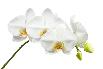 Tuinposter Orchidee Ten day old white orchid isolated on white background.