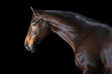 Bay horse on black background