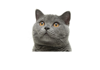 Gray cat sitting behind a white banner and looking up