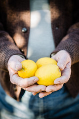 Farmer hands cutting lemons of a tree full of ripe fruit