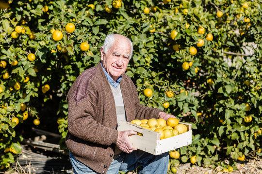 Farmer cutting lemons of a tree full of ripe fruit