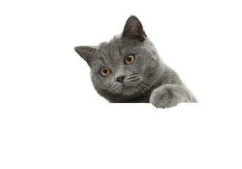 young cat with yellow eyes on a white background sits behind a w