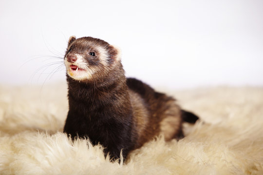 Smiling ferret on fur
