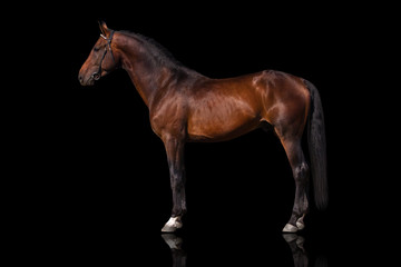 Exterior beautiful bay horse isolated on black background