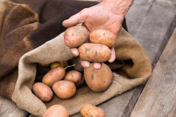 Old man hand with Fresh harvested potatoes with soil