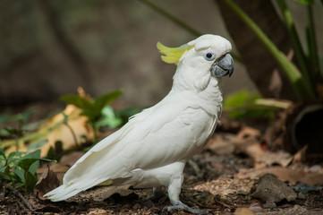Sulphur-crested Cockatoo, Raised Yellow Crest, Australia