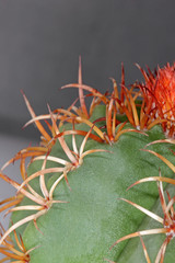 Uebelmannia cactus spikes