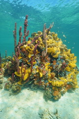 Colorful sponges under the sea in a coral reef