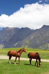 Horses pasturing free near Kazbegi, Georgia