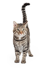 Domestic Shorthair Tabby Cat Standing