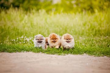 Three small Pomeranian puppies walking