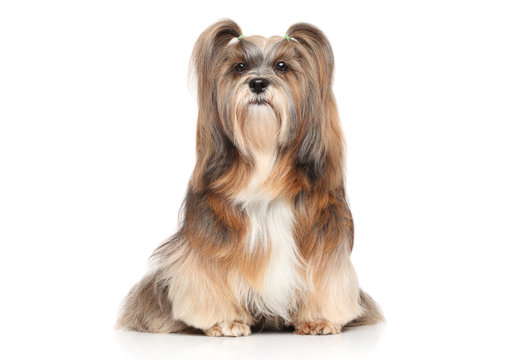 Lhasa Apso on a white background