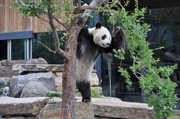 Giant Panda standing upright. Australia, Adelaide zoo