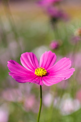 Pink Cosmos flower in the field