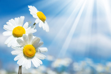 Three daisies on a background of the sky