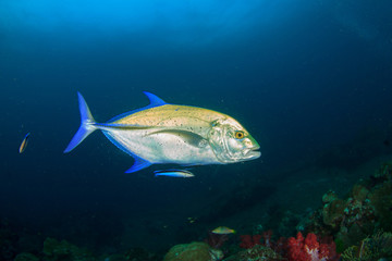 Bluefin Trevally fish