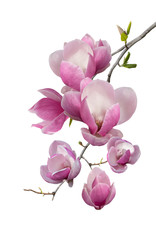 Wall Murals Magnolia Flowering branch of magnolia