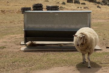 Sheep feeding on dry land