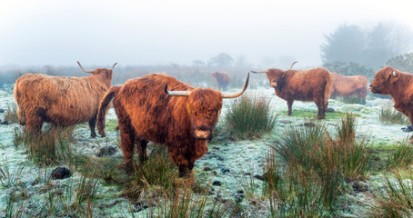 Wall Mural - Highland Cattle