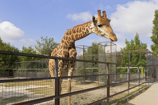 Giraffe behind the fence.