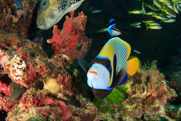 Emperor Angelfish and Pufferfish