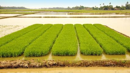 junge Reispflanzen, Setzlinge