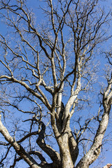 Limbs of an Ash tree without leaves