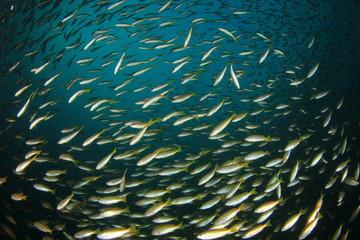 School of Snapper Fish