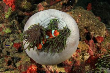 Nemo fish (Clownfish Anemonefish)