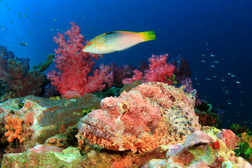 Scorpionfish and Wrasse on coral reef