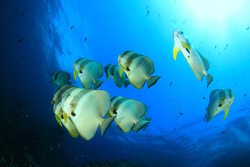 Batfish (Spadefish) school underwater