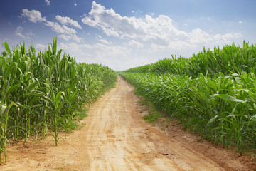 Wall Mural - skyline and corn field