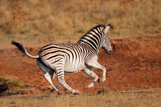 Running plains zebra