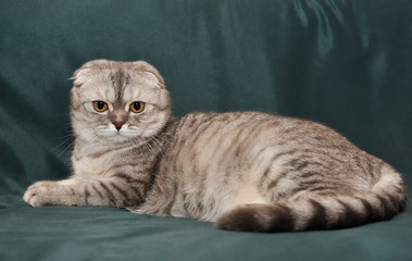 Gray cat Scottish Fold lies on the couch.