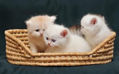 Small British kittens in  basket on  dark green background.