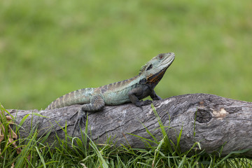 Eastern Water Dragon in the woods