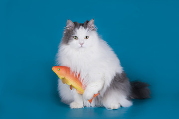 cat caught a goldfish isolated on a blue background