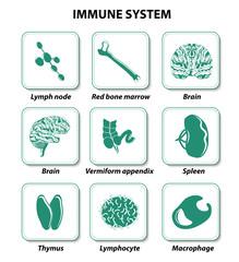 internal human organs. Immune system