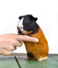 portrait of guinea pig stay on feet and hod on woman's hand fing