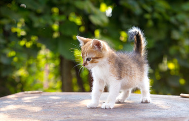 red, white kitten with blue eyes on green background