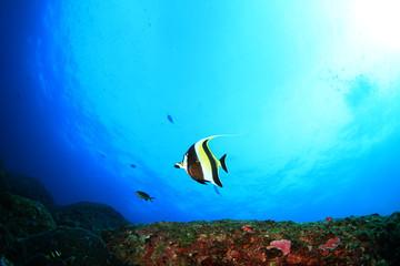 Moorish Idol fish on underwater reef