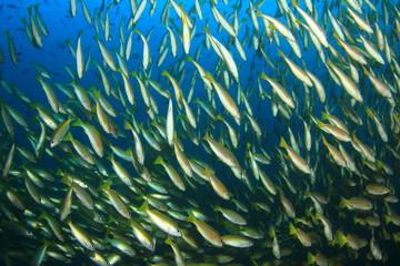 School Snapper Fish underwater in ocean