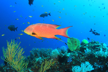 Lyretail Grouper fish on coral reef